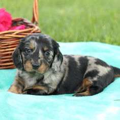 Dachshund Puppy for sale in GAP, PA, USA