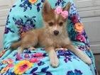 Pomeranian-Siberian Husky Mix Puppy For Sale in EPHRATA, PA, USA