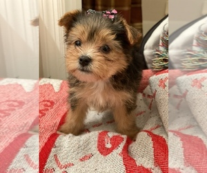 Yorkshire Terrier Puppy for sale in JACKSONVILLE, FL, USA