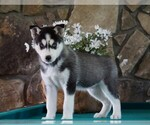 AKC Siberian Husky For Sale Holmesville OH Male