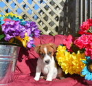 Jack Russell Terrier Puppy For Sale in SANDOWN, NH