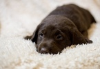 Labrador Retriever Puppy For Sale in PENRYN, CA