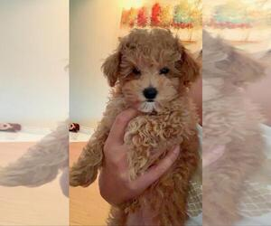Poodle (Miniature) Puppy for sale in CHICAGO, IL, USA