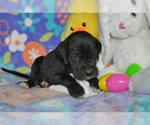 Great Dane Puppy for Sale in CALDWELL, Idaho USA