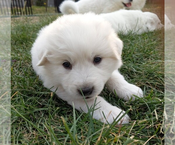 Medium Photo #117 Great Pyrenees Puppy For Sale in FALCON, CO, USA