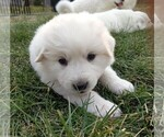 Small #116 Great Pyrenees