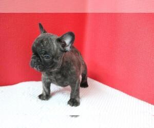 French Bulldog Puppy for sale in ALAMO, CA, USA
