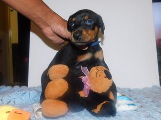 Doberman Pinscher Puppy For Sale in HOUSTON, TX, USA