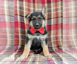 German Shepherd Dog Puppy for sale in COCHRANVILLE, PA, USA
