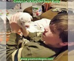 Small Photo #39 Dogo Argentino Puppy For Sale in PINEVILLE, MO, USA