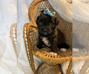 Maltipoo-Poodle (Toy) Mix Puppy for sale in MUSKEGON, MI, USA