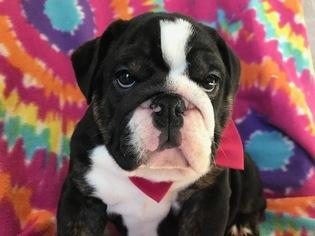 Bulldog Puppy For Sale in EPHRATA, PA, USA