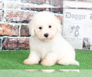 Bichon Frise Puppy for sale in BEL AIR, MD, USA