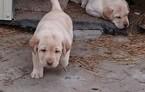 Labrador Retriever Puppy For Sale in WAMEGO, KS