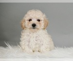 Puppy 5 Poodle (Miniature)