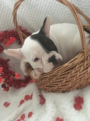French Bulldog Puppy For Sale in BELLEVILLE, PA, USA