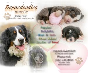 Bernedoodle Dog for Adoption in WEST SALEM, Ohio USA