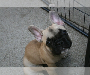French Bulldog Puppy for Sale in LINCOLN, California USA