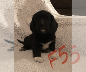 Poogle Puppy for sale in ELMWOOD, WI, USA
