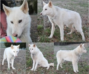 Wolf Hybrid Puppy for Sale in POWELL, Tennessee USA