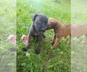 Mastiff Puppy for sale in AMANDA, OH, USA