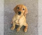 Puppy 5 Labrador Retriever-Unknown Mix