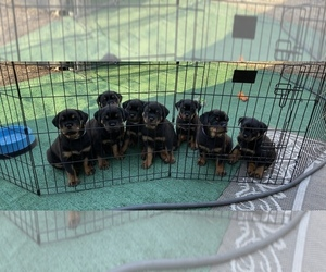 Rottweiler Puppy for Sale in SHINGLE SPGS, California USA