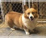 Small #1 Pembroke Welsh Corgi