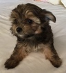 Morkie Puppy For Sale in MOUNTLAKE TERRACE, WA