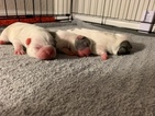 French Bulldog Puppy For Sale in MILPITAS, CA, USA