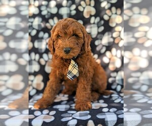 Irish Doodle Puppy for sale in PEACH BOTTOM, PA, USA