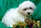 Maltese-Poodle (Toy) Mix Puppy For Sale in CONOWINGO, MD