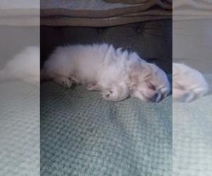 Pekingese Puppy for sale in GREENEVILLE, TN, USA