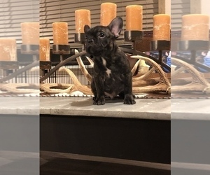 French Bulldog Puppy for Sale in FREDERICKSBURG, Texas USA