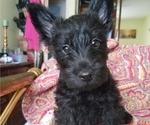 Puppy 2 Scottish Terrier