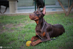 Top Euro Doberman Female