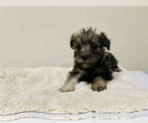 Schnauzer (Miniature) Puppy for Sale in THORNTON, Colorado USA