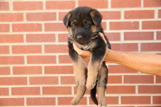 German Shepherd Dog Puppy For Sale in LEWISTOWN, MT, USA
