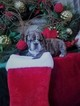 English Bulldog Puppy For Sale in CASTALIA, NC, USA