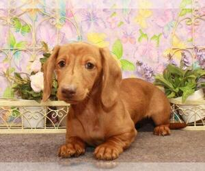 Dachshund Puppy for Sale in SHAWNEE, Oklahoma USA