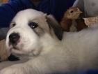 Great Pyrenees Puppy For Sale in KANSAS CITY, MO