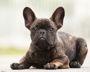 French Bulldog Puppy For Sale in HOLLYWOOD, FL