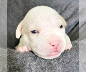 American Bully Puppy for sale in PARKLAND, WA, USA