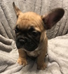 French Bulldog Puppy For Sale in CHARLESTON, South Carolina,