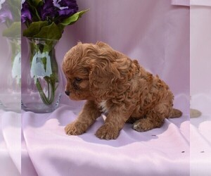 View Ad: Cavapoo Puppy for Sale near Ohio, MILLERSBURG, USA