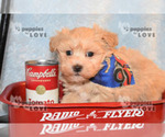 Small #9 Maltipoo-Poodle (Toy) Mix