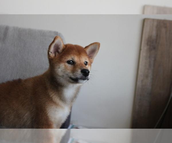 Medium Photo #5 Shiba Inu Puppy For Sale in SEATTLE, WA, USA
