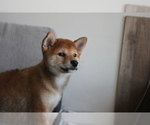 Small Photo #5 Shiba Inu Puppy For Sale in SEATTLE, WA, USA