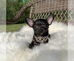 Small #7 Chihuahua