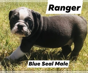 English Bulldog Puppy for Sale in ERIN SPRINGS, Oklahoma USA